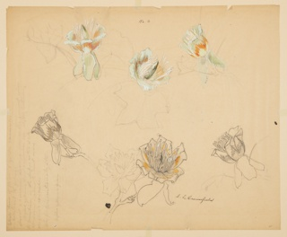 Six studies of tulip tree blossoms, mainly green, orange, and white. Leaves outlined in graphite, and pen and ink. At left, artist's color notes.