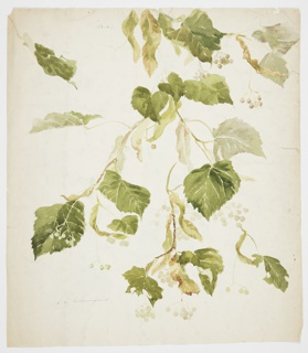 Vertical sheet depicting a linden branch with leaves and berries. On verso, three studies of raspberry canes.