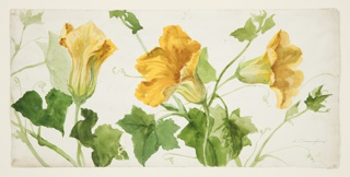 Drawing, Study of Squash or Pumpkin Plants