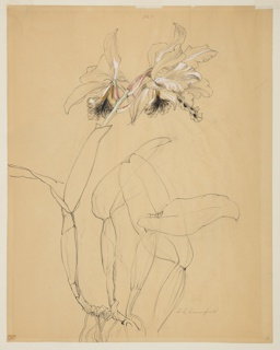 Drawing, Study of an Orchid