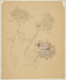 Three chrysanthemums, two with long stems and the third, at right, with a short stem and heightening with pink, white, and yellow.