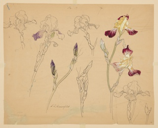 Drawing, Studies of Irises