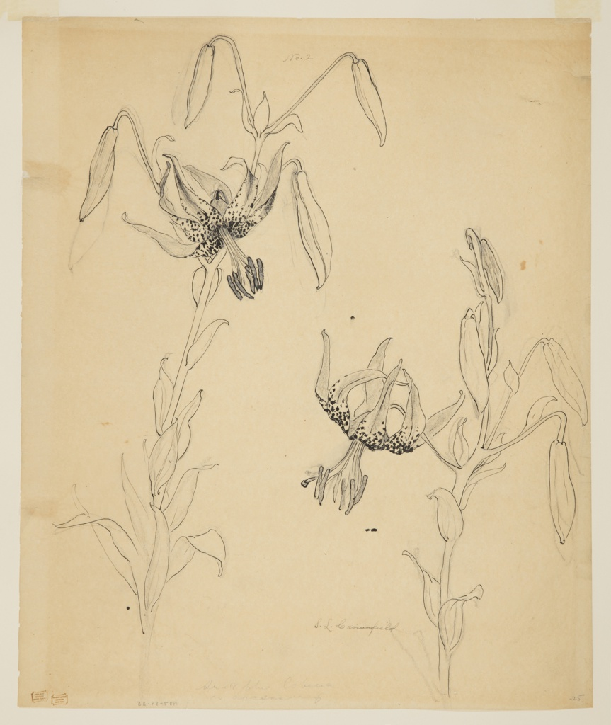 Drawing, Study of Tiger Lilies
