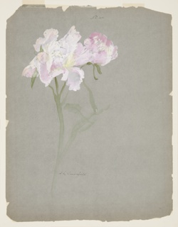 Drawing, Study of Peony Stalk with Blossoms