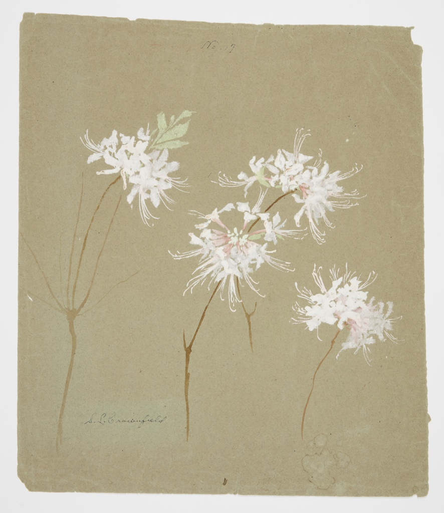 Drawing, Study of Wild Azalea