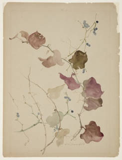 Vertical sheet depicting branches of clematis vines, with leaves in autumnal coloring, and blue berries.