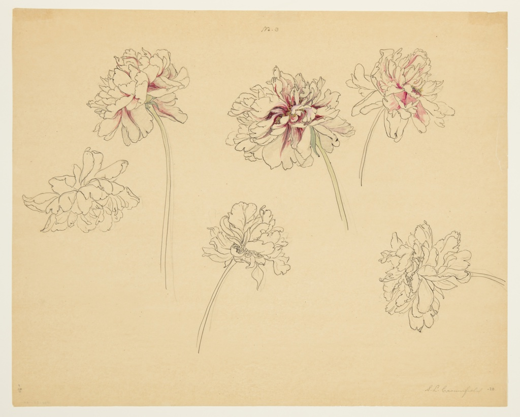 Drawing, Study of Peonies