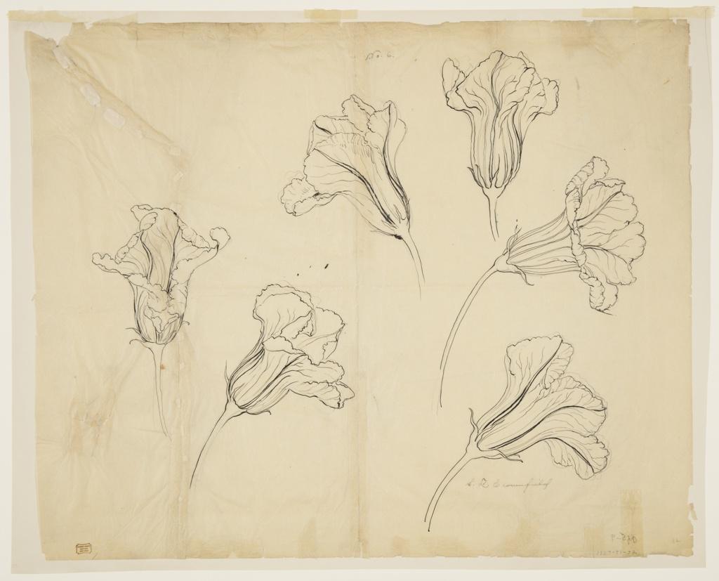 Drawing, Studies of Squash or Pumpkin Blossoms