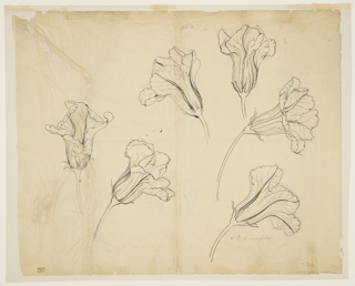 Drawing, Studies of Squash or Pumpkin Blossoms