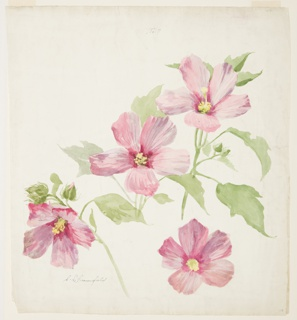 Drawing, Study of Mallow