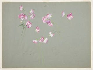 Drawing, Study of Sweet Peas
