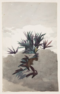 Sketch of a hillside with clumps of maguey.