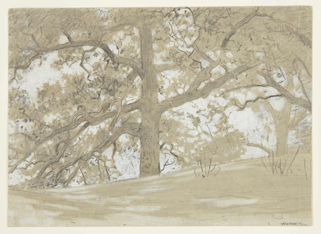 Sketch of a large oak tree with spreading branches viewed from below, at center, with a second tree in the right background of the sheet.