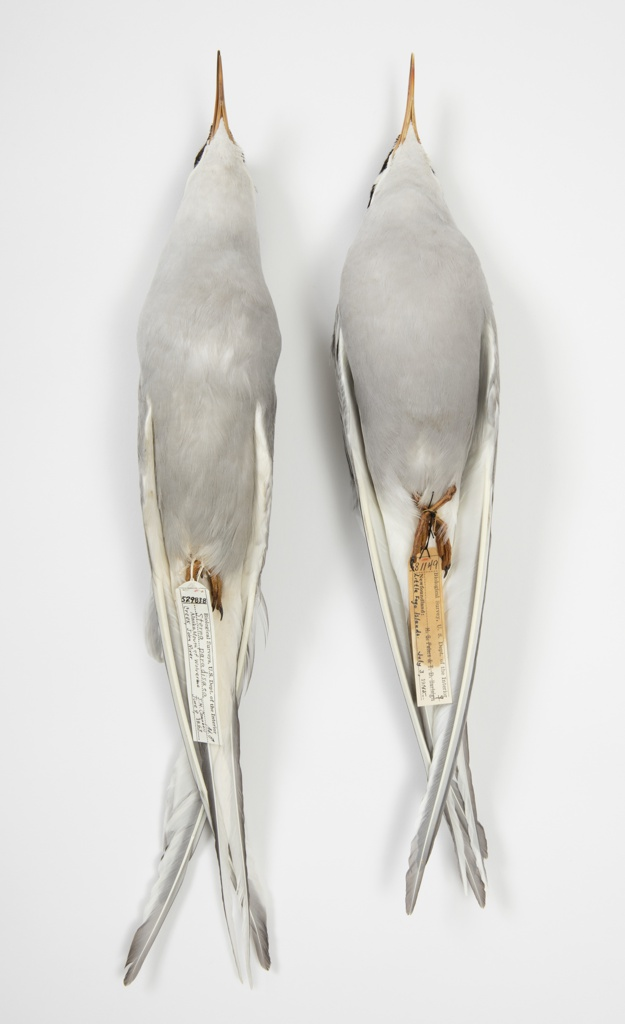 Bird Specimen, Arctic Tern (Sterna paradisaea), July 3, 1945