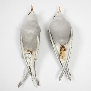 Bird Specimen, Arctic Tern (Sterna paradisaea), June 9, 1963