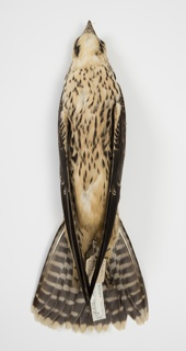 Bird Specimen, Peregrine Falcon (Falco peregrinus), October 23, 1951
