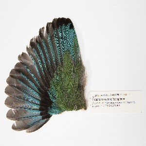 Bird Specimen, Turquoise-browed Motmot (Eumomota superciliosa apiaster), July 11, 2012