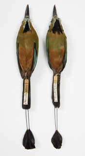 Bird Specimen, Turquoise-browed Motmot (Eumomota superciliosa superciliosa), January 29, 1901