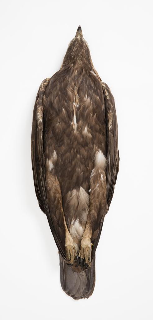 Bird Specimen, Golden Eagle (Aquila chrysaetos), September 28, 1928