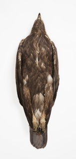 Bird Specimen, Golden Eagle (Aquila chrysaetos), September 28, 1928