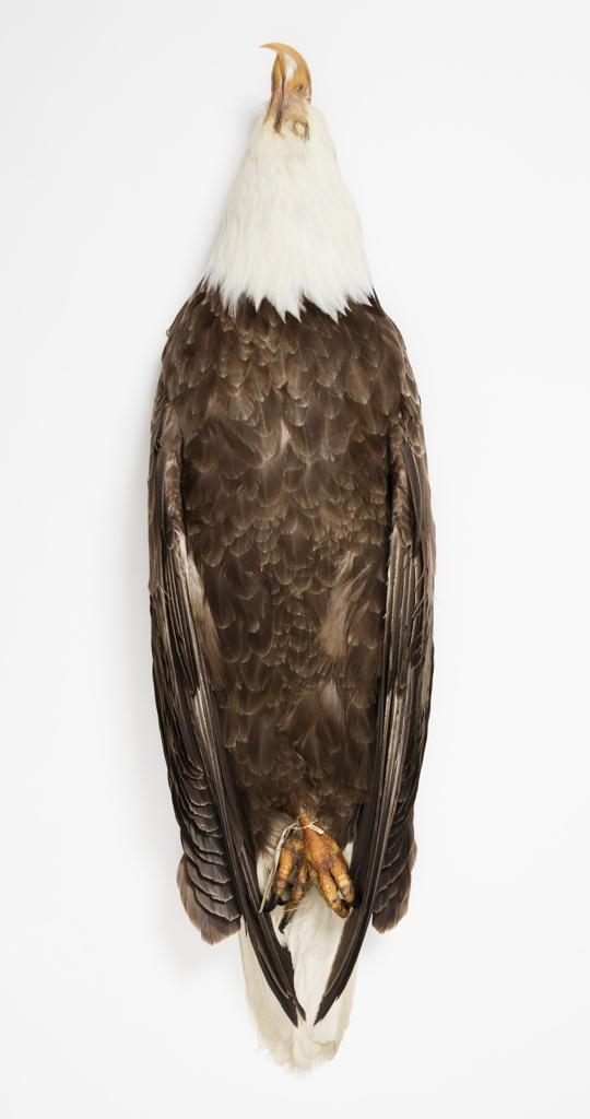 Bird Specimen, Bald Eagle (Haliaeetus leucocephalus), July 26, 1941