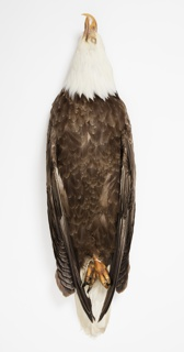 Bird Specimen, Bald Eagle (Haliaeetus leucocephalus), July 26, 1941