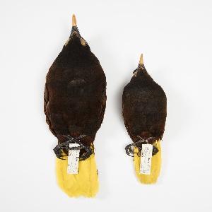 Bird Specimen, Montezuma Oropendola (Psarocolius montezuma), February 15, 1943