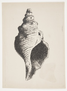 Study of a shell, rendered in black lines. The shell is depicted vertically with the opening of the shell facing forward.