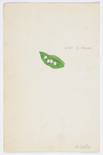 1 drawing on paper:  White Lily of Valley sprig on green leaf.