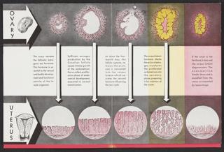 Brochure, The Menstrual Cycle