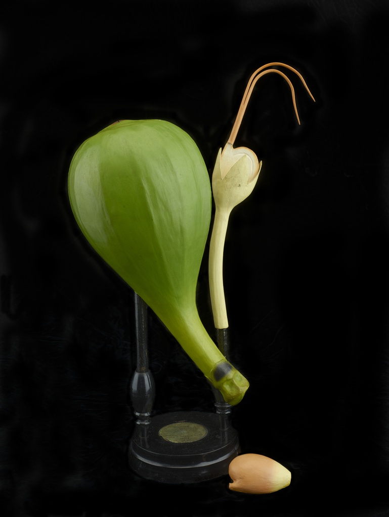 Anatomical model of Ficus Carica glued to a vertical rod mounted on a stepped base with affixed paper label