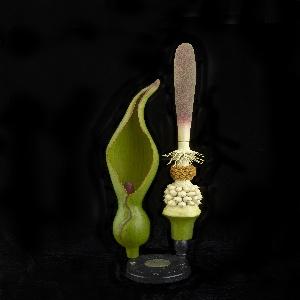 Arum Maculatum, 1875–1898