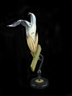 Model, Salvia Officinalis