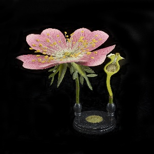 Anatomical model of Rosa Canina glued to a vertical rod mounted on a stepped base with affixed paper label