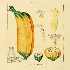 Scientific illustration showing the banana from seed to full growth
