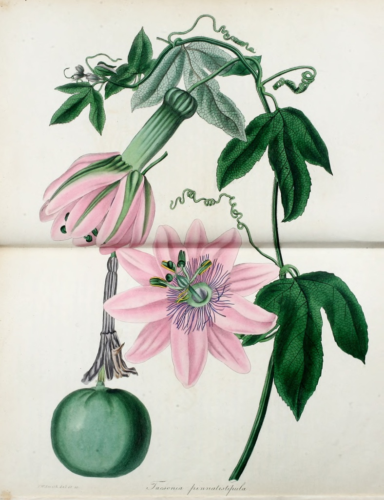 Plate, Tasconia Pinnatistipula