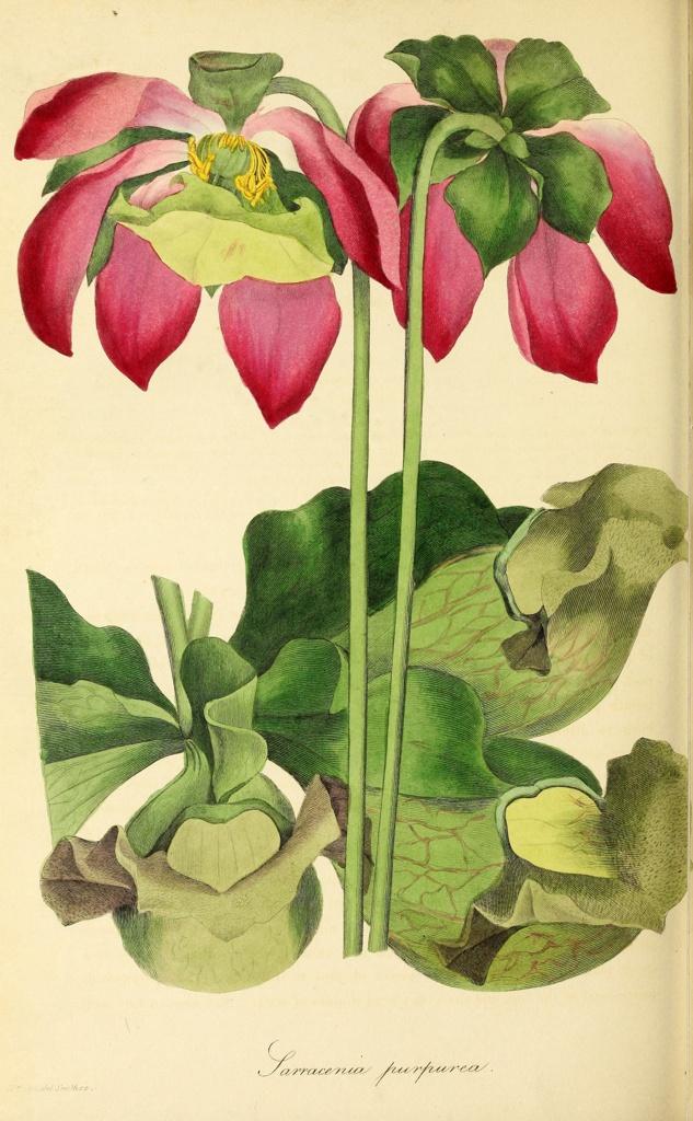 Botanical illustration of Sarracenia Purpurea