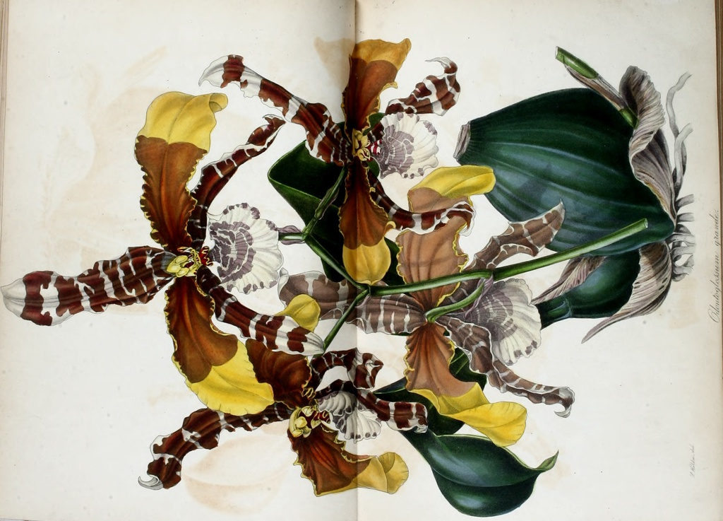 Botanical illustration of Odontoglossum grande
