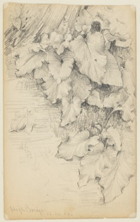 Study of large-leafed plants at the edge of water. The water is shown at left, and the base of a tree in the left rear. Verso: At right, the left part of a sketch of two clouds.