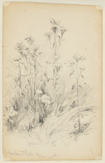 Sketch of thistle plants and grass.