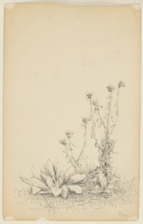A group of two thistles and big-leaved plants with grass. Verso: in opposite direction, at top, a rough sketch for a landscape painting.