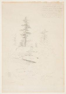 Recto: Vertical view of a moss covered, fern filled, rocky stream bank in lower foreground with three pine trees filling the middleground.