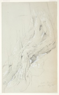 Recto: Vertical view of the roots of a cotton tree growing on a slope. 