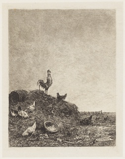 A rooster stands on a manure pile, left, and crows. About him are a number of foraging hens.