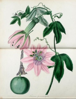 Paxton's Magazine Of Botany, And Register Of Flowering Plants, Vol. 1, 1834