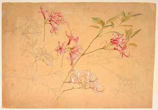 Studies of azalea branches, with pink flowers. Verso: pink ladyslippers, a blueberry branch with flowers, huckleberry, and parsnip.