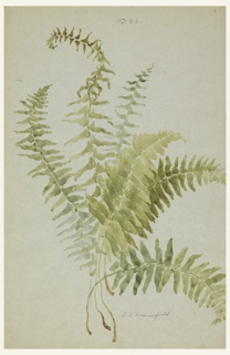 Vertical sheet depicting six fronds of Boston or Christmas fern on the recto.  Fronds of the same fern are depicted on the verso.