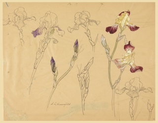 Seven studies of irises in various stages of blooming. Three of the designs are colored in with purple, green, yellow and red watercolor.