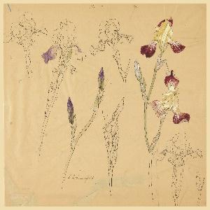 Drawing, Studies of Irises
