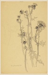 Study of thistle plants in various stages of blooming.